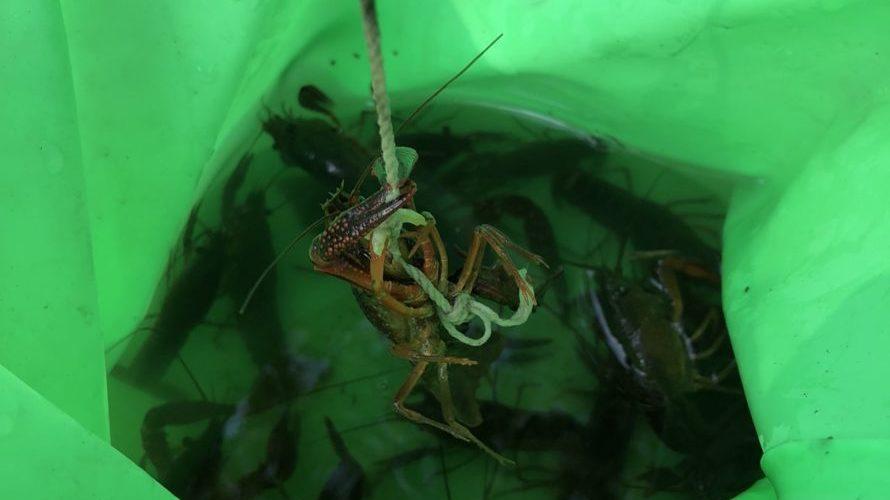 子供と一緒にザリガニ釣り 猛暑の日ザリガニの潜む場所は
