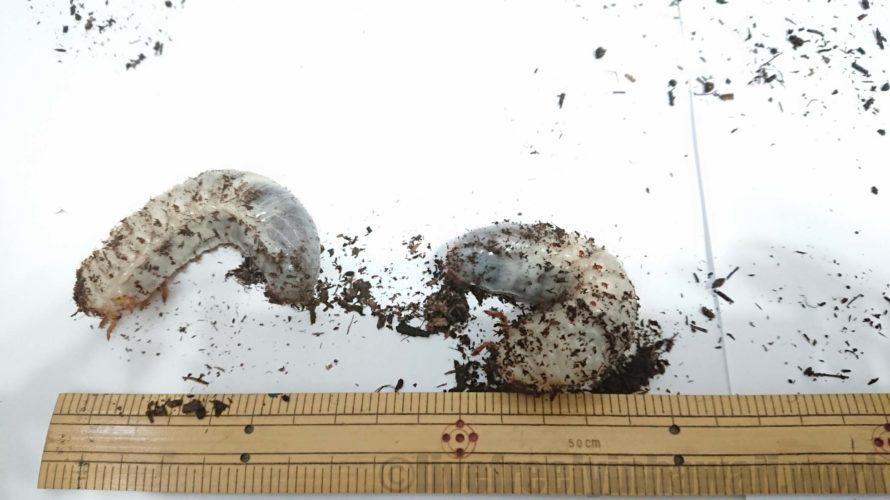 「自然の腐葉土」と「幼虫飼育用マット」カブトムシにはどっち?